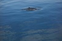 Un aileron pas-de-requin