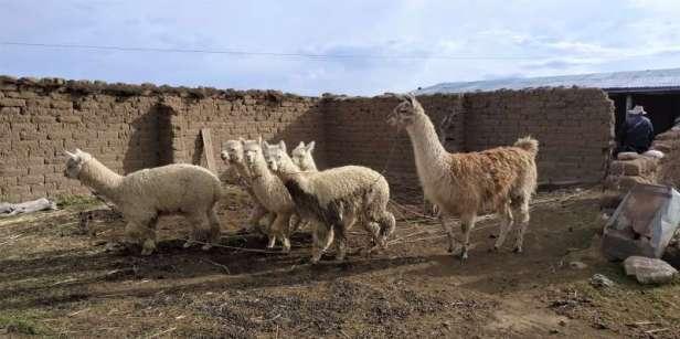 Nous logeons un soir dans la ferme de Roberto qui élève lamas, alpagas et moutons