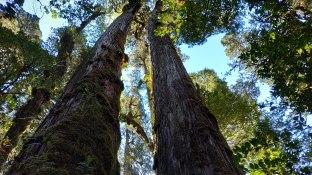 Des arbres très hauts...