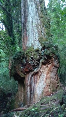 Tronc remarquable de cyprès de Patagonie (fitzroya cupressoides)