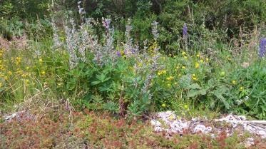 Joli tableau rassemblant des lampourdes, des lupins en fin de floraison, un petit plant de nalca et des graminés