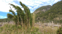 Une variété de bambou compact (Chusquea culeou ?)