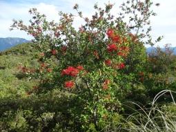 """Ici le """"buisson de feu"""" chilien (Embothrium coccineum)"""