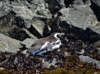 Un pingouin.... euh non, un manchot de Magellan maman !
