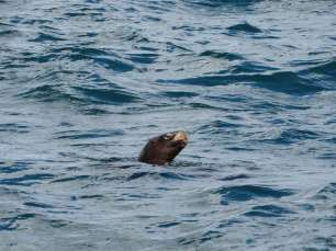Une otarie pointant le bout de son museau pendant notre traversée vers l'île de Chiloé
