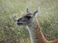 Dans le parc Torres del Paine, des guanacos par dizaines