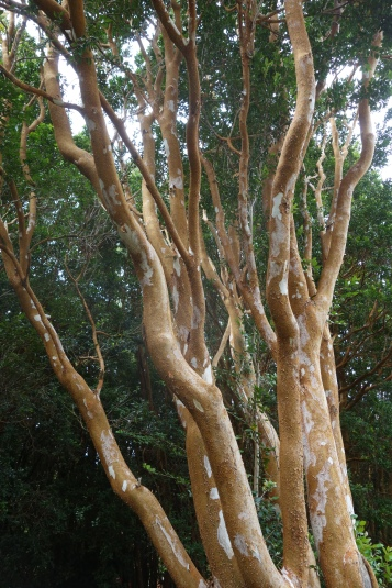 """Le """"temu"""", arbre au bois coloré, variété de myrte utilisée par les mapuches comme plante médicinale"""