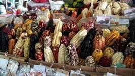 Du maïs de toutes les couleurs