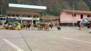 Groupe de chiens errant sur la route