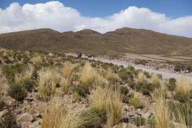Graminés sur l'altiplano