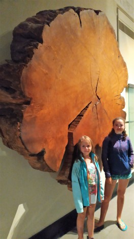 Le Kauri, arbre protégé