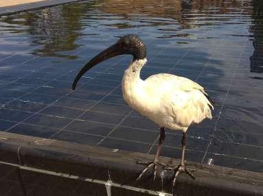 Un ibis en plein Sydney