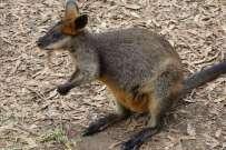 Un kangourou dans un parc. Nous n'en aurons vu qu'un à l'état naturel. Mort le long de la route... :-(