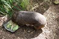 Un wombat (avec les narines poilues ;-))