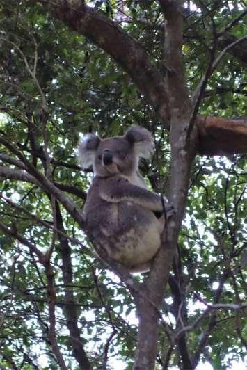 Le koala juvénile que Diane a repéré dans un eucalyptus.