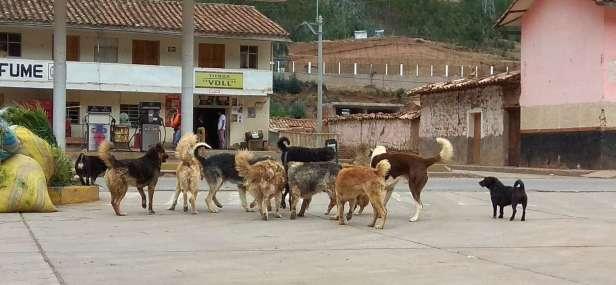 Il y avait beaucoup de chiens sauvages. Ici une femelle en chaleur est poursuivie par une meute de mâles...