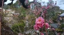En attendant les cerisiers, nous profitons de la floraison des pruniers