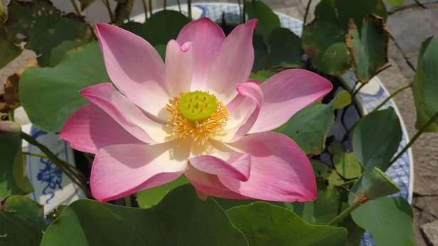 Fleur de lotus, magnifique !