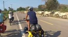 Traversée d'un troupeau de vache, conduit avec maîtrise par un berger en scooter, les appelant par onomatopées (ou alors ça veut vraiment dire quelque chose en thaï ?)