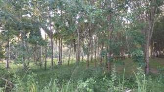 Ici, une forêt d'hévéas cultivés pour le latex
