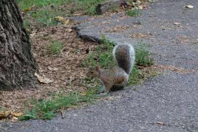 """Un """"méchant"""" écureuil gris qui colonise le territoire des squirrels..."""