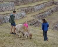 Des alpagas, dont on utilise la laine
