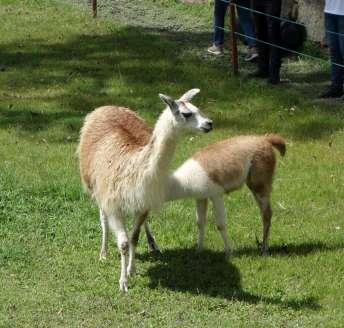 Nous avons vu beaucoup de lamas