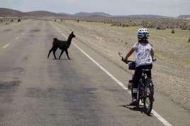 Un jeune lama traversant juste devant moi