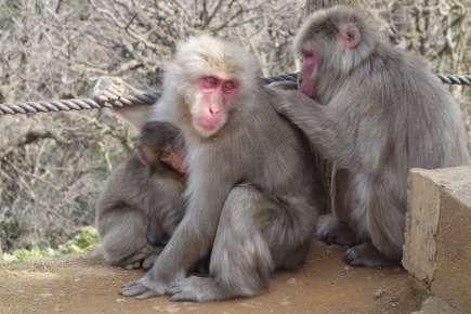 Visite du parc d'Arashiyama, dont la montagne est peuplée de singes macaques