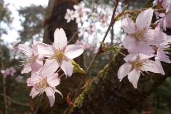 Vers la fin de notre séjour, nous pouvons quand même assister à l'éclosion des premiers cerisiers