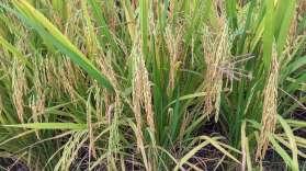 Ici, le riz est presque mûr, on voit la grappe de grains pendre le long des tiges.