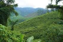 Les feuilles de thé sont cueillies toutes les 3 semaines environ