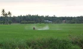 Plus nous descendons dans le sud du pays, plus la culture du riz est avancée. Ici, épandage de pesticide, sans protection :-(