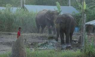 """On est pas allé trop voir les éléphants : les méthodes de dressage pour """"casser"""" les jeunes éléphants sont très dures"""